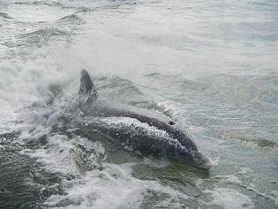 Dolphin, Florida, däggdjur, Ocean, Flipper, Marine, havet