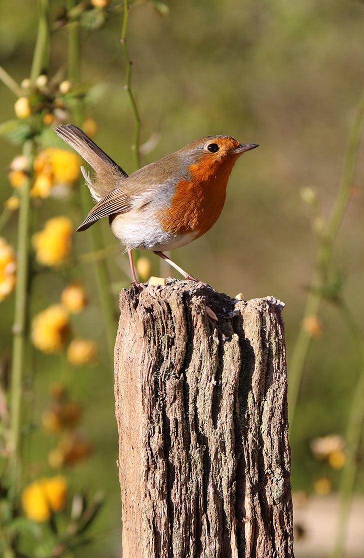 Robin, post, cvijeće, ptica, priroda, Crveni, biljni i životinjski svijet