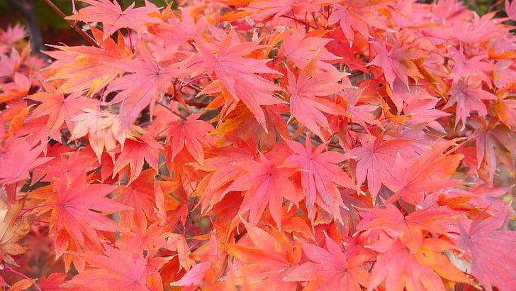 oranža, atstāj, Dienvidkoreja, koki, rudens, Leaf, daba