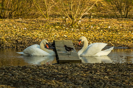 swans, nature, birds, bird, lake, swan, pond