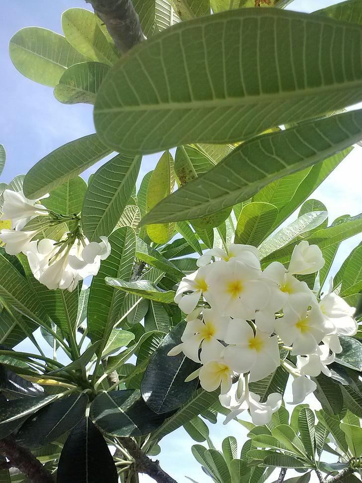 Plumeria, Frangipani, grøn, flora, sommer, blomster