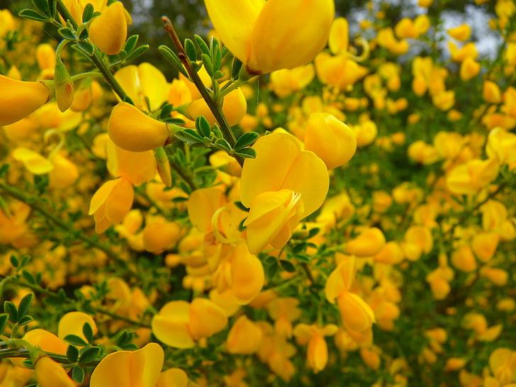 escombra, flor, groc, olor, flor, flor, natura
