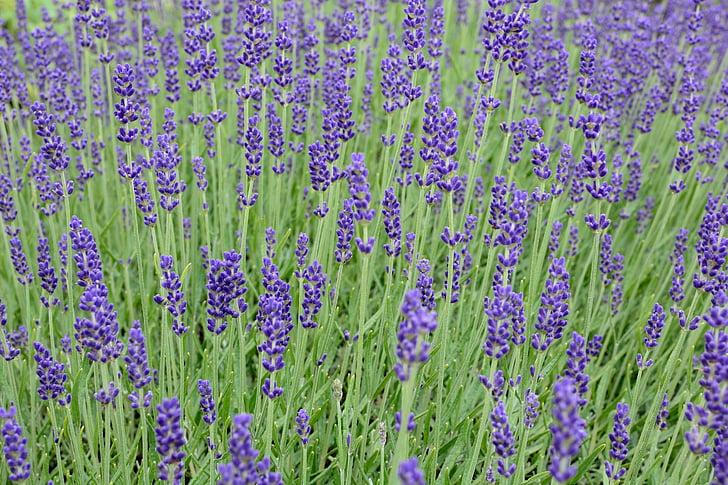 lavanda, flor, flor, porpra, violeta, flor, flors d'espígol