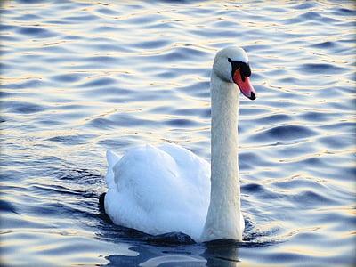 swan, water, bird, white, water bird, white swan, wave