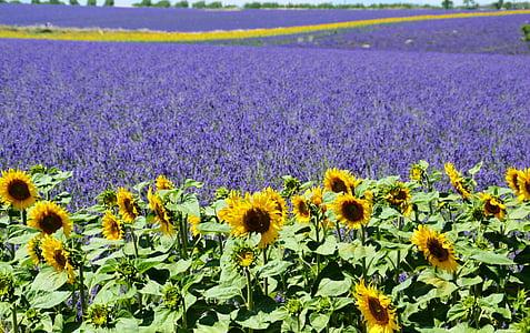 camp de lavanda, gira-sol, Valensole, Provença, l'estiu, porpra, Mediterrània