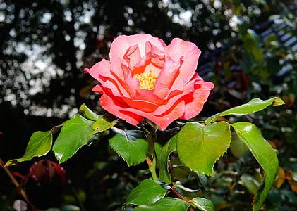 Rosa, flor, flor, flor rosa, Rosa, l'estiu, fragància