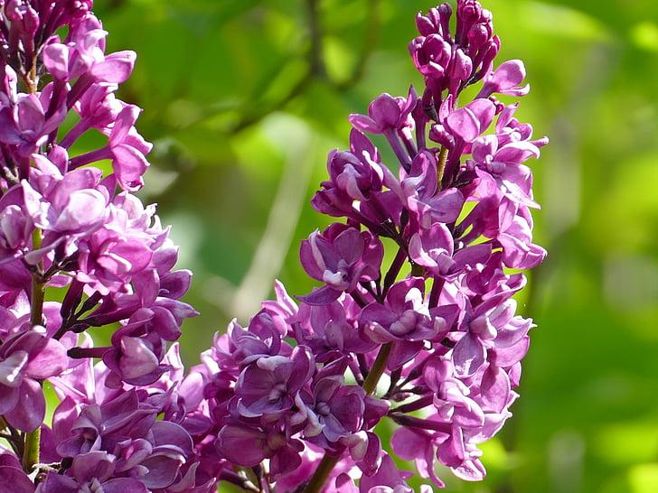 liliowy, fioletowy, Bush, Natura, wiosna, Bloom, kwiaty