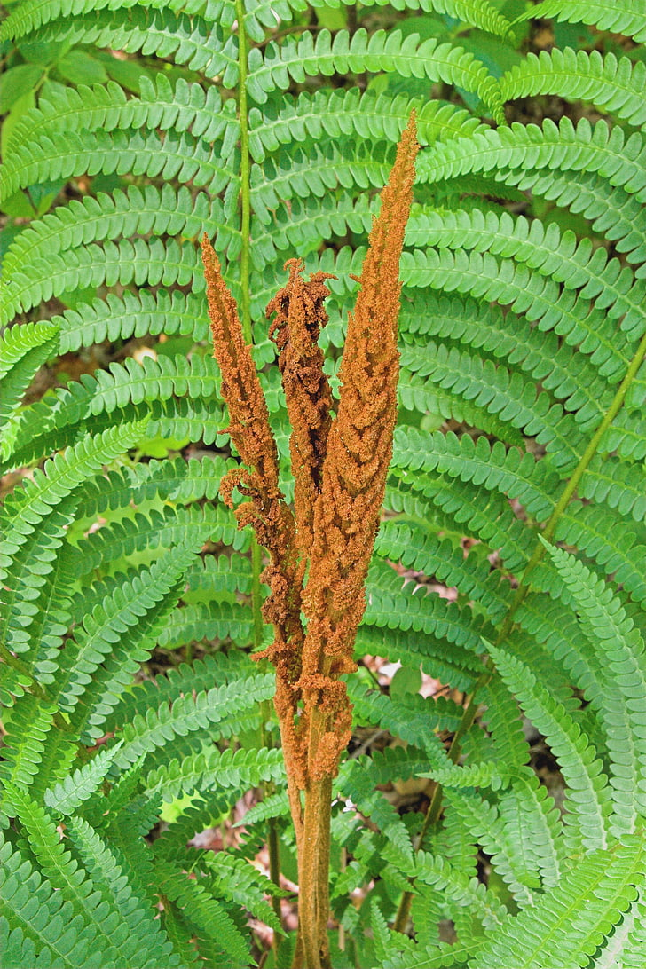 cinamono paparčio, žiedadulkių, Paparčio formos šakelės, augalų, Gamta, natūralus, lapų
