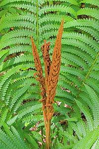 Falguera de canyella, pol·len, Falguera, planta, natura, natural, fulla