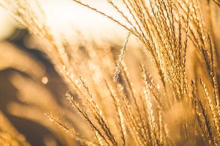 entelar, borrosa, gra, natura, a l'exterior, blat, planta de cereals