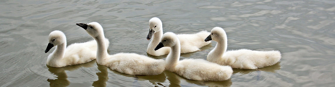 swans, baby swans, water, waterfowl, young swans, plumage, lake