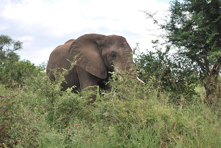 elephant, africa, south africa, safari, kruger park, animal