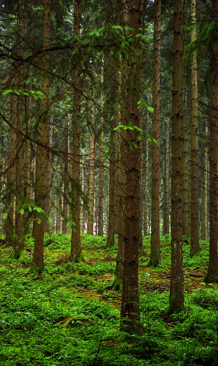 trees, forest, slovenia, nature