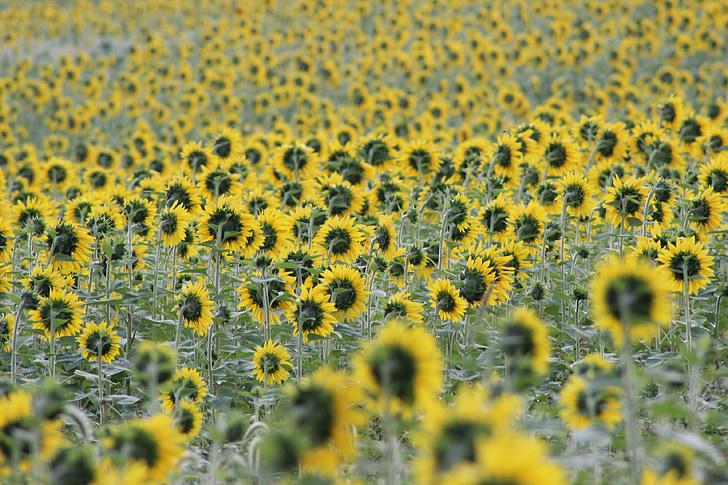 Sončnica, cvetenja, cvet, rumena, polje, čudovito