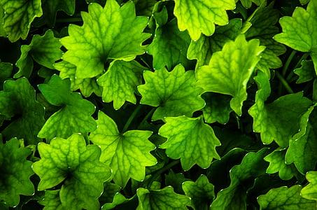 verd, fulla, fulles verdes, jardí, fullatge, fresc, natura