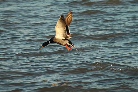faune, oiseau, eau, nature, animal, sauvage, plume