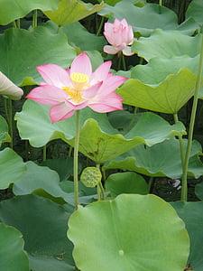 Lotus lístia, Petal, Lotus, vodné rastliny, rybník, kvitnúce
