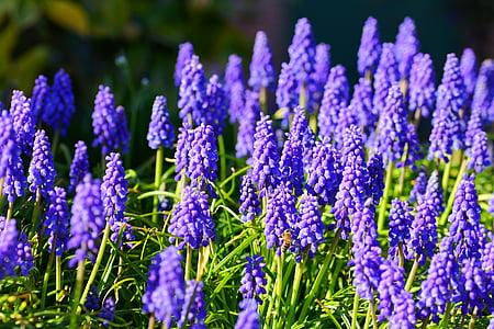 Jacint, flors, blau, natura, planta, jardí, primavera