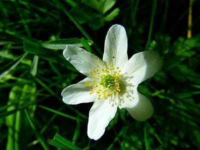 anemone lesa, cvet, cvet, hahnenfußgewächs, bela, vetrnica, rastlin
