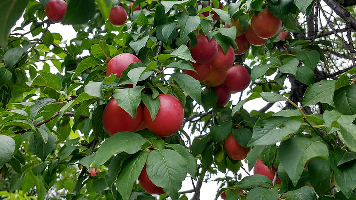 red plums, plum, ripe plums, plums on tree, fruit, red, ripe