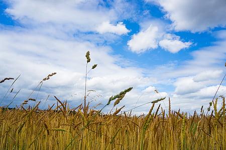 поле, небе, синьо, орни, пшеница, облаците
