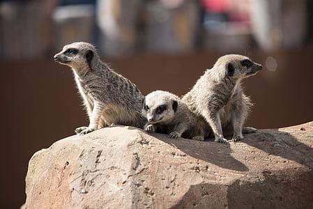 meercat, Zoo, Wildlife, imetaja, Nunnu, pruun, Meerkat