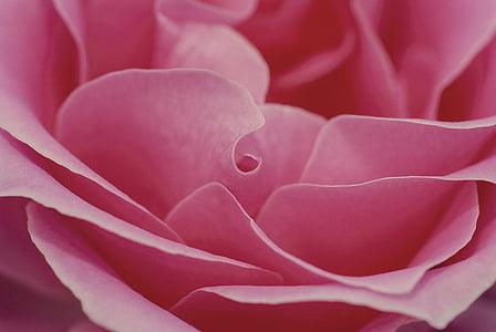 Rožė, rožinė, Romantika, meilė, gėlė, Romantiškas, Valentino
