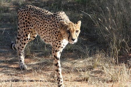 cheetah, namibia, wild, nature, wild animals, africa, photography wild