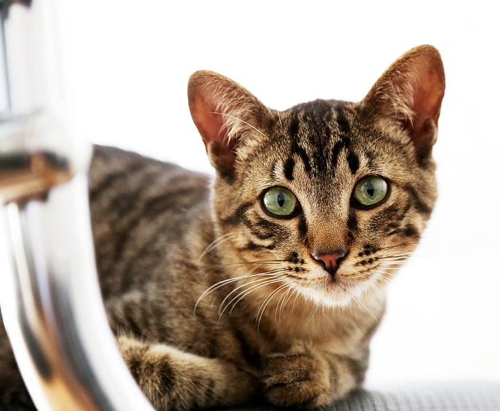 Dlakava maca slika galerija