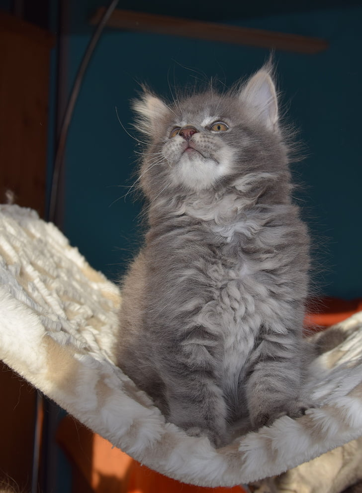 katt, grå päls, Husdjur, kattunge, fluffiga, däggdjur, insidan