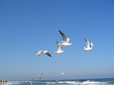 Östersjön, Seagulls, havet, fågel, Seagull, flygande, naturen