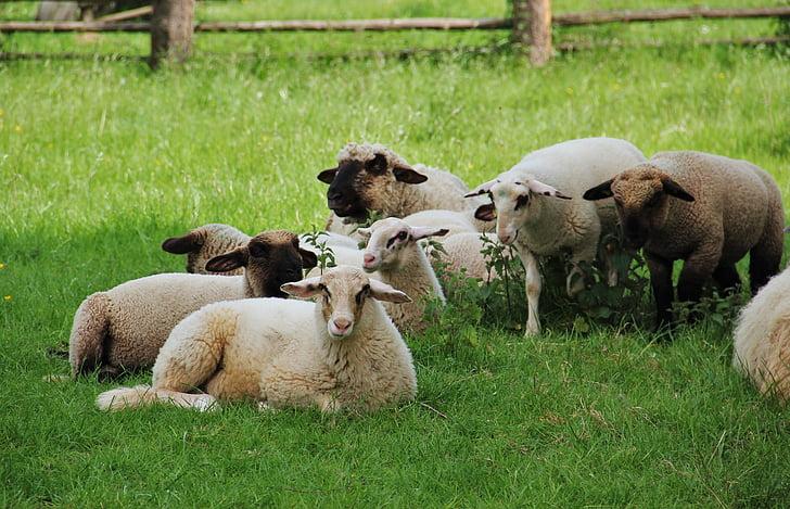 lampaat, karitsat, lammaslauma, Animal lapset, kevään, niitty, schäfchen