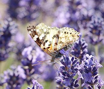 levendula, pillangó, természet, növény, Blossom, Bloom, nyári