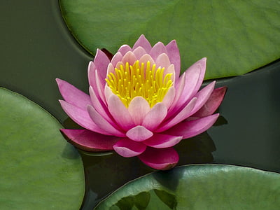 lotus flower, lotus, lake, flowers, water Lily, lotus Water Lily, nature