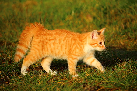 kitten, cat, cat baby, red mackerel tabby, young cat, red cat