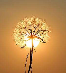 Глухарче, слънце, роса, вода, растения, залез, природата
