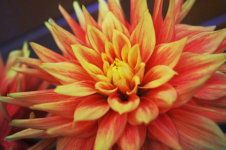Dahlia, květ, barevné, léto, květ, okvětní lístek, Příroda