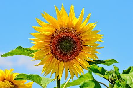Sun flower, suvel, Aed, õis, Bloom, kollane, Helianthus