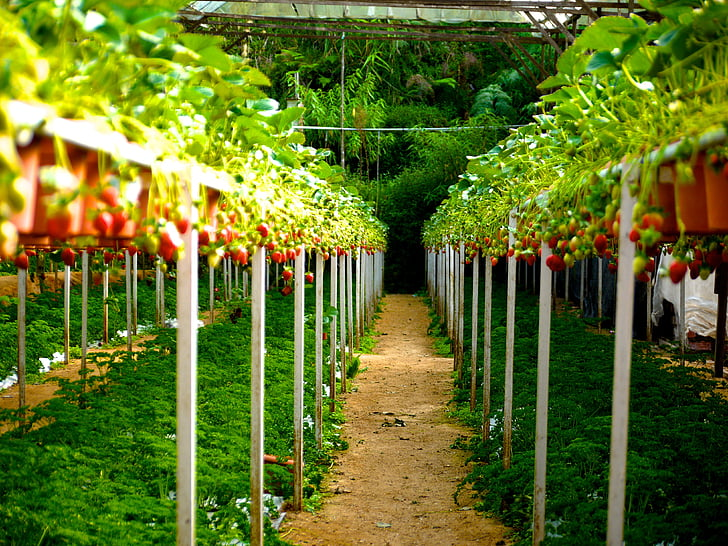 dâu tây, Trang trại dâu, quả mọng, trái cây, chín, màu xanh lá cây, Trang trại