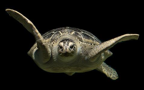 черепаха, Грин, мне?, океан, животное, Дикая природа, Подводный