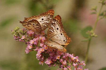 bướm, vĩ mô, côn trùng, Thiên nhiên, Cặp vợ chồng, Hoa, một trong những động vật