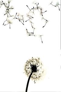 dent de Lleó, contrasten, alt contrast, natura, planta, flor, branca
