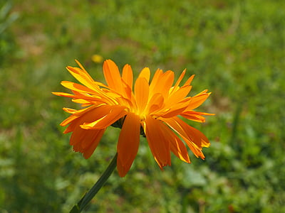 Medetkų, gėlė, žiedų, žydėti, oranžinė, Vaistinė medetka, Sodininkystė