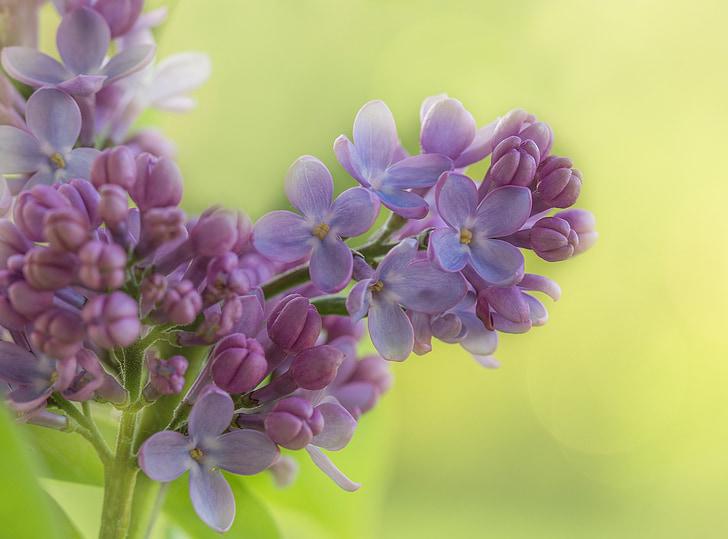 liliowy, Bush, krzewów ozdobnych, Lilak pospolity, roślina, kwiat, Bloom