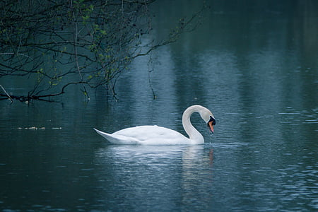 swan, water bird, swim, lake, pond, water, waters