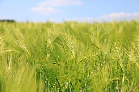 보 리, 시리얼, 필드, 밀, 농업, 자연, 필드