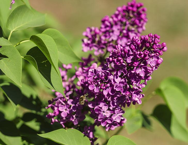 kwiaty, liliowy, fioletowy, wiosna, Bloom, Natura, roślina