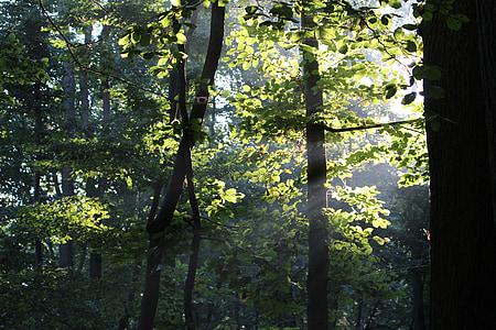 forest, sunshine, incidence of light, light, sunlight, sun, green