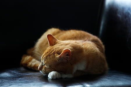 adorable, animal, cat, cute, domestic, feline, fur
