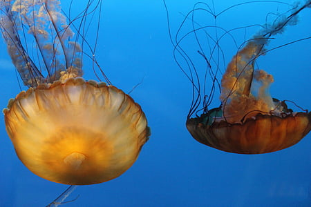 jelly fish, orange, tentacles, underwater, animals, swimming, diving